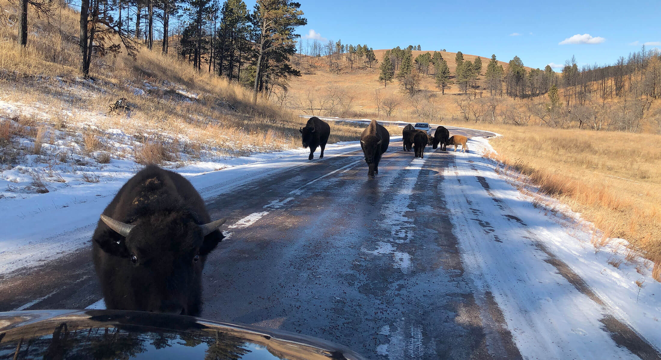 Bison on the road in Custer State Park
