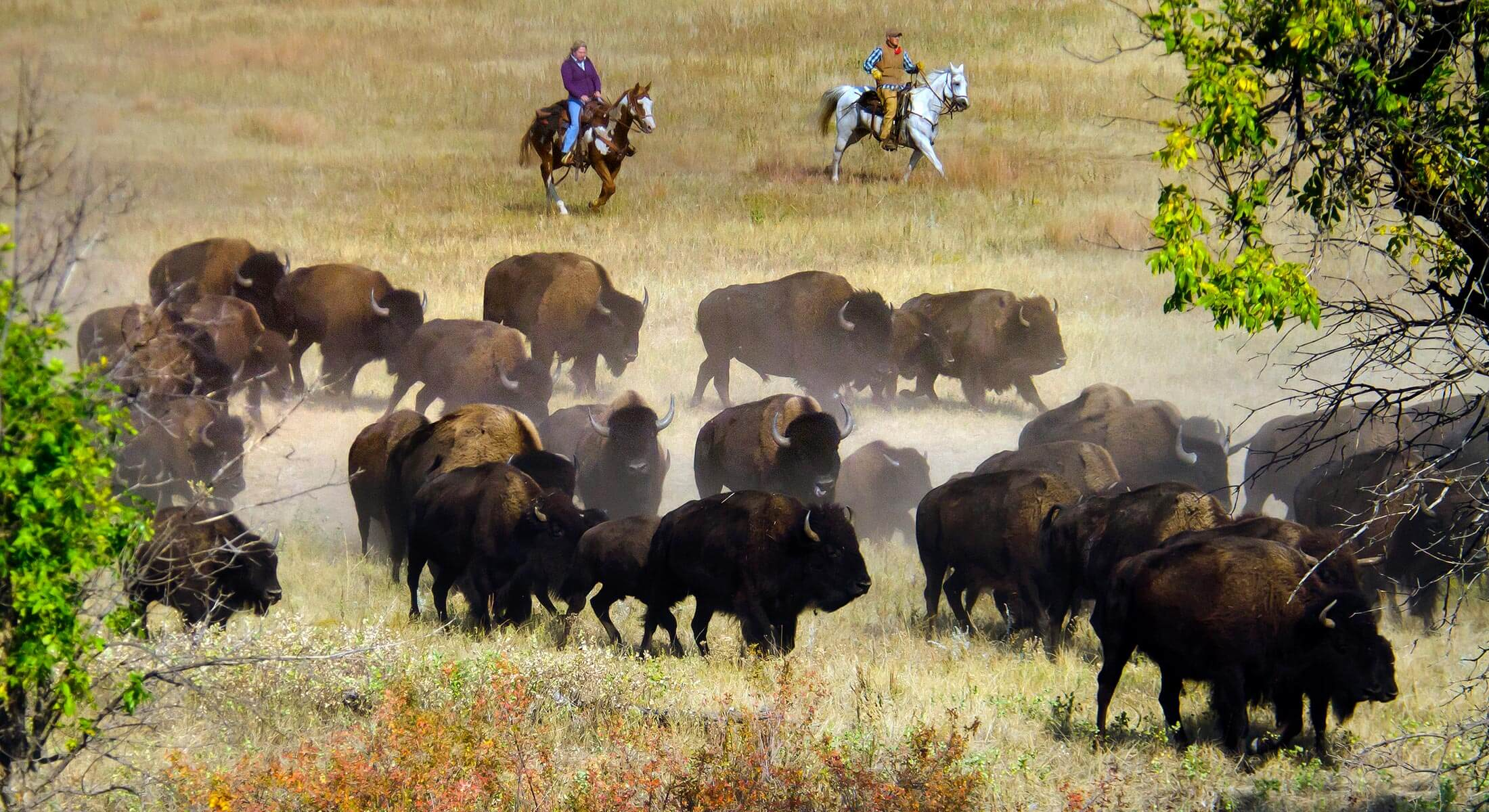 Buffalo Roundup Riders herding buffalo herd