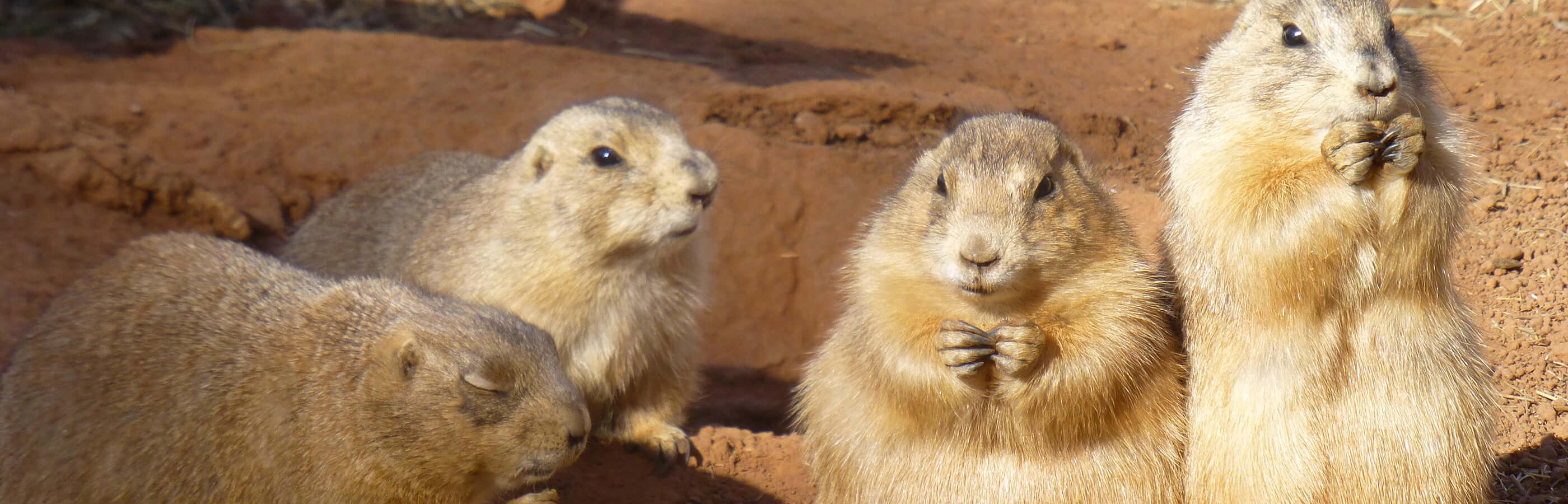 Prairie Dogs at Reptile Gardens