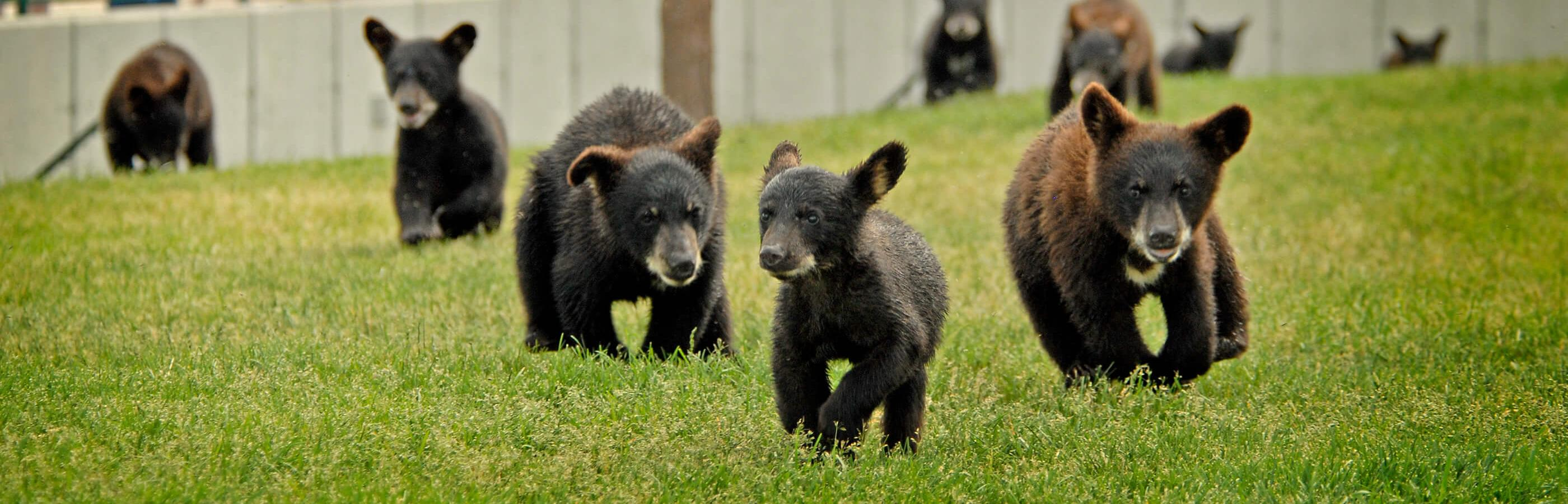 Bear cubs Running in Bear Country USA in Rapid City, SD