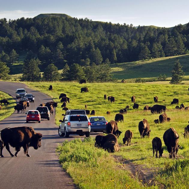 Buffalo at Custer State Park SM