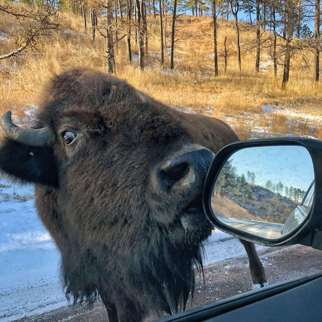 Custer State Park Bison Licking Car Mirror