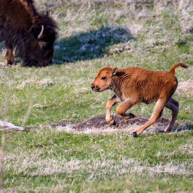 Bison calf running around the herd in Custer State Park